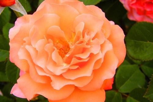 Mainau Rose