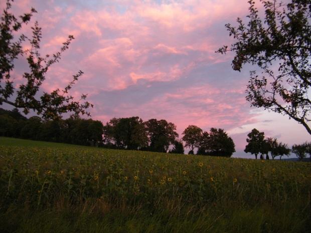 Müde Sonnenblumen zwischen Apfelbäumen